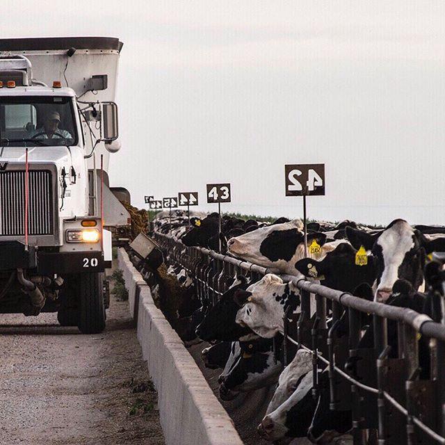 Fed yesterday, feeding today, will feed tomorrow #repeat . Caring for cattle properly is a seven day a a week job! It's a good thing we love what we do! . . #cattletales #dairy365 #dairylife #dairyfarm #dairyfarmer #farmlifebestlife #farmer #farmher #farmers #farmerslifeforus #holstein #holsteinheifer #heifer #dairyheifer #livestock