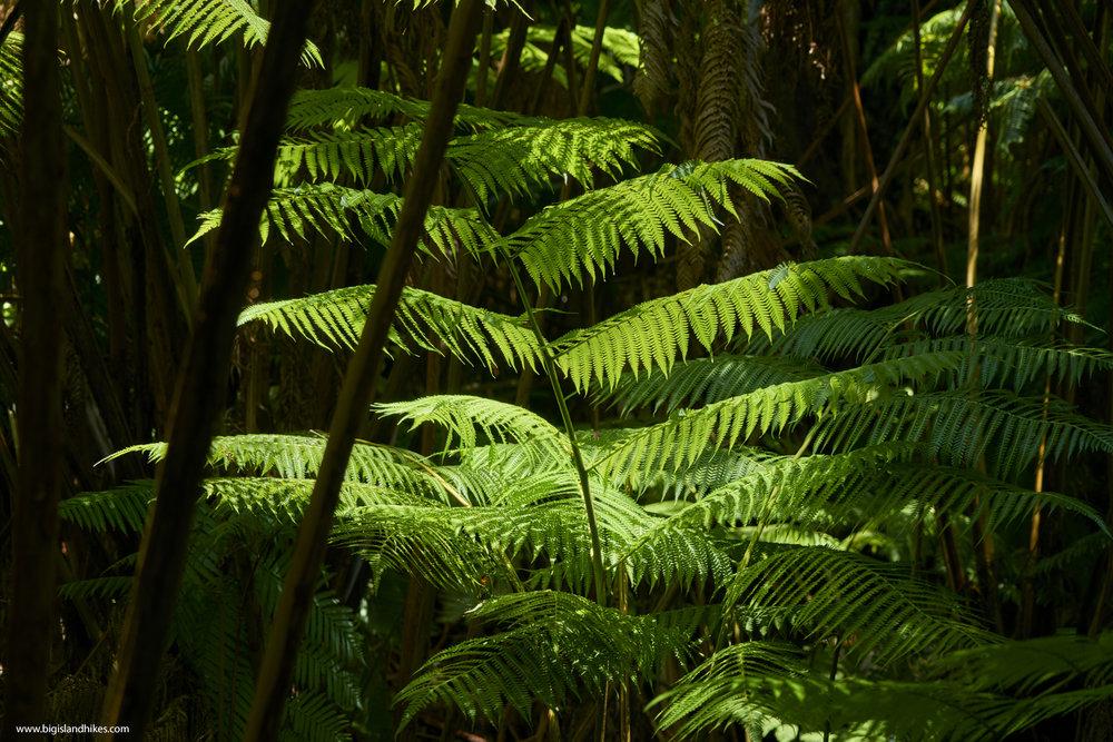 puu makaala tree fern.jpg