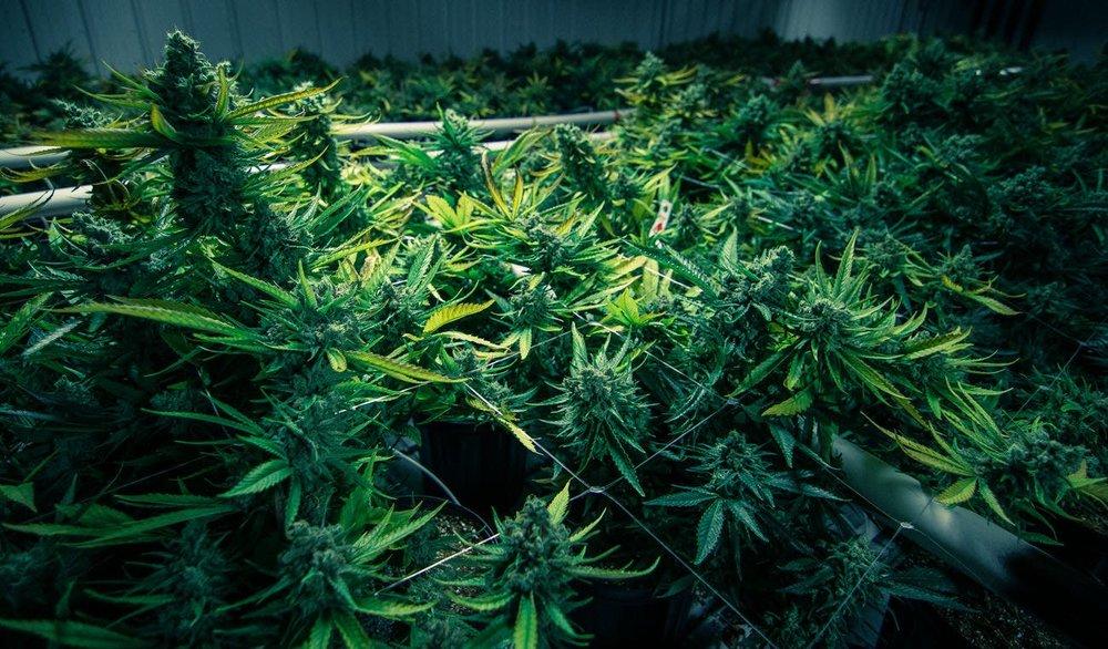 Cannabis Marijuana hemp cbd thc cannabinoids weed green