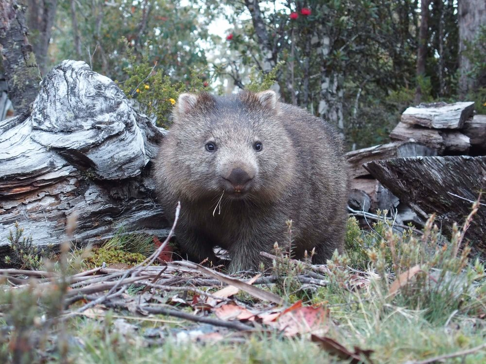 Wombat at Cradle Mountain Highlander Accommodation.JPG