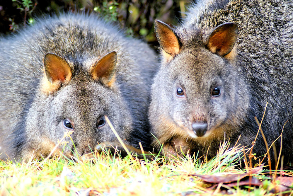 Two Pademelon's.jpg