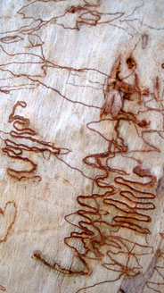 austraila bark