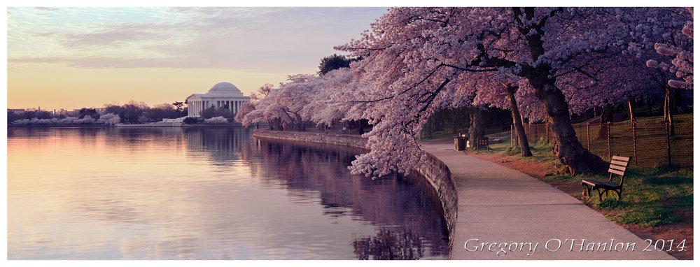 Cherry Blossoms - Jefferson Memorial - Sunrise