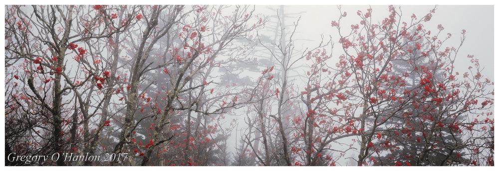 Mountain Ash Trees - Great Smoky Mountains