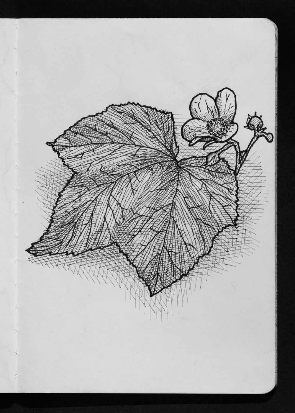 01-15 Thimbleberry.jpg