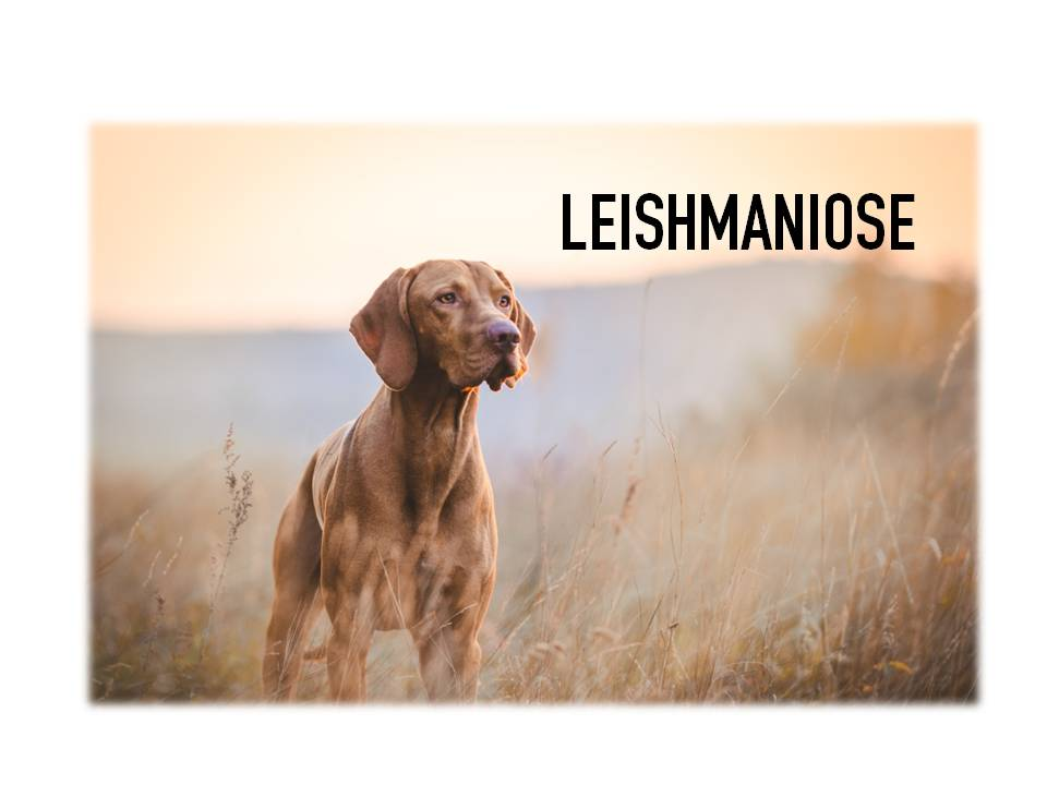 veterinariosintra_leishmaniose2019.jpg