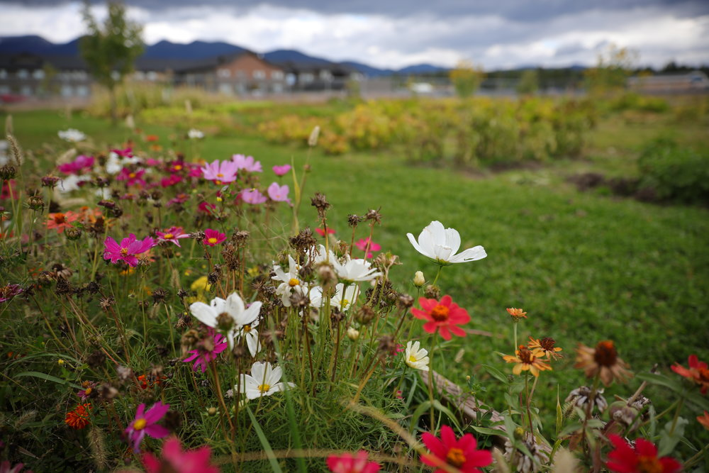 Wildflowers growing in the Lions Club garden - photo by Branson Tarr