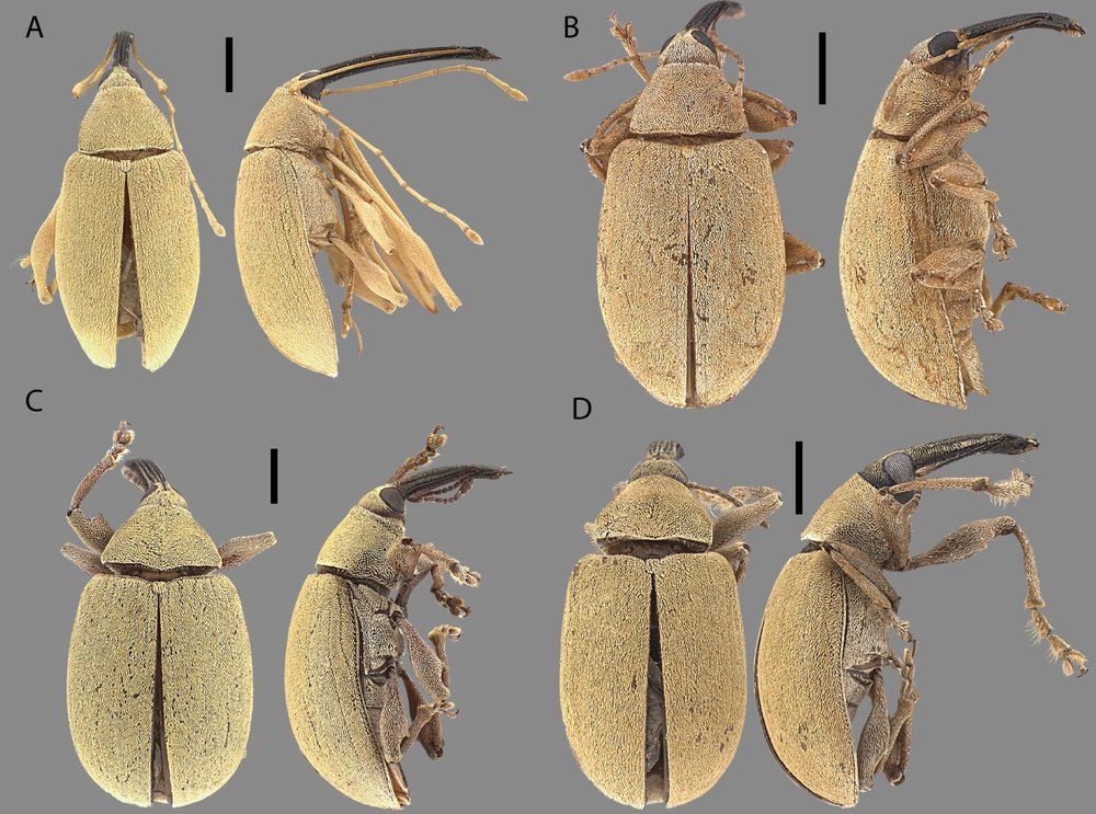 Weevils - I describe new species of weevils (family Curculionidae) and their natural history
