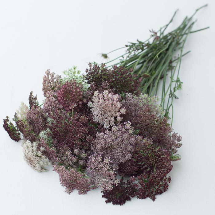 Floret_Chocolate-Lace-Flower_Dara_IMG_4541_700x700.jpg