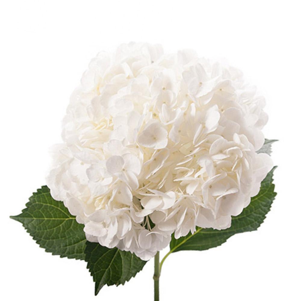 white-hydrangea.jpg