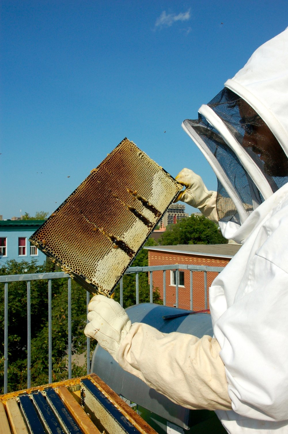 It's honey extraction day for Santropol Roulant. A beekeeper gestures to larvae hidden in the honeycomb on the roof of the nonprofit organisation on July 10, 2015.