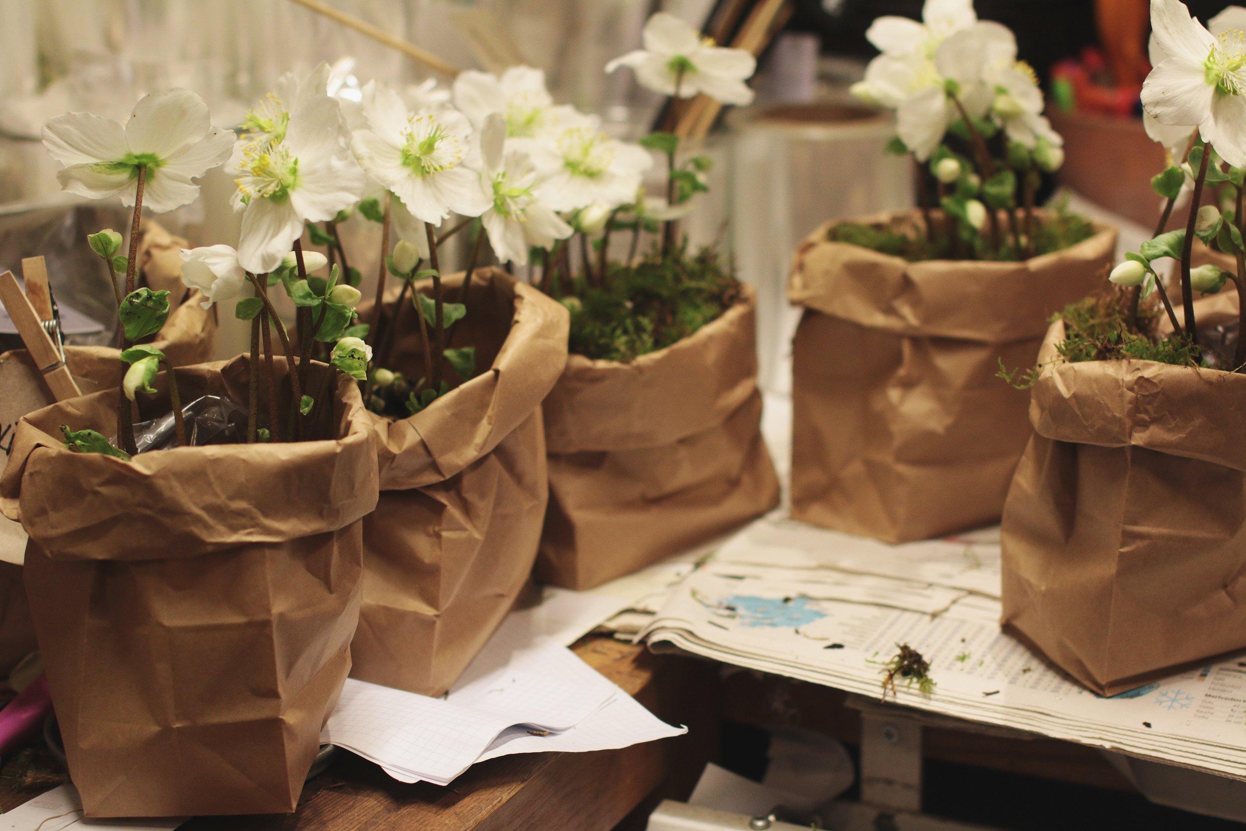 jouluruusu, helleborus, kasvit paperipussissa, plants, christmas plants