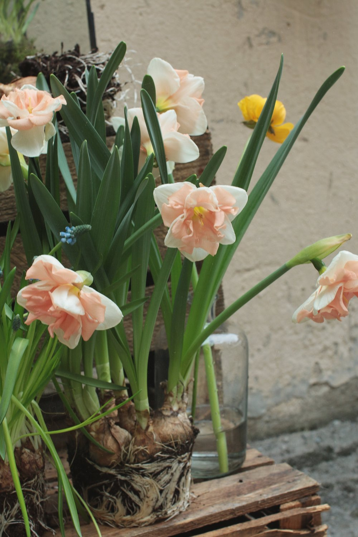 Suloinen aprikoosi pyörre narsissilajike tuo hentoa pastellin sävyä kevätsistutksiin. Pitkänja pimeän talven jälkeen värit tekevät hyvää.
