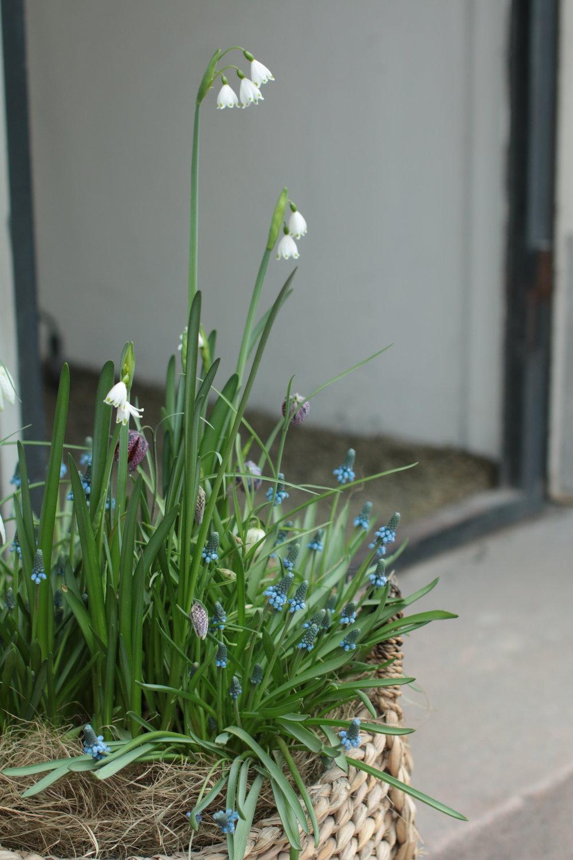 Turun Linnandaun Dots lifestyle myymälän edustalla on kukkinut kevätniitty melkein koko maaliskuun. Iltaisin Dotsilaiset ovat nostaneet korin tuulikaappiin, ja hyvin ovat sipulikukat jaksaneet kukkia!
