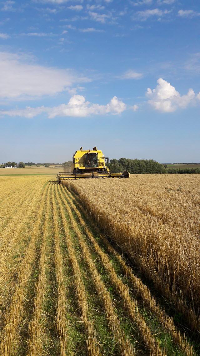 harvesting_barley
