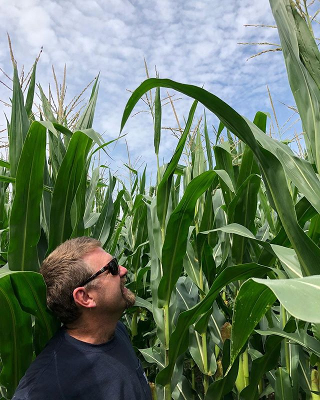 Chris admiring his handiwork. Two heads per stalk is a sign of a healthy corn plant—this year, our corn towered over Chris's head and nearly all stalks had two heads. #breathedeepfarm #regenerative #organic #organicgrains