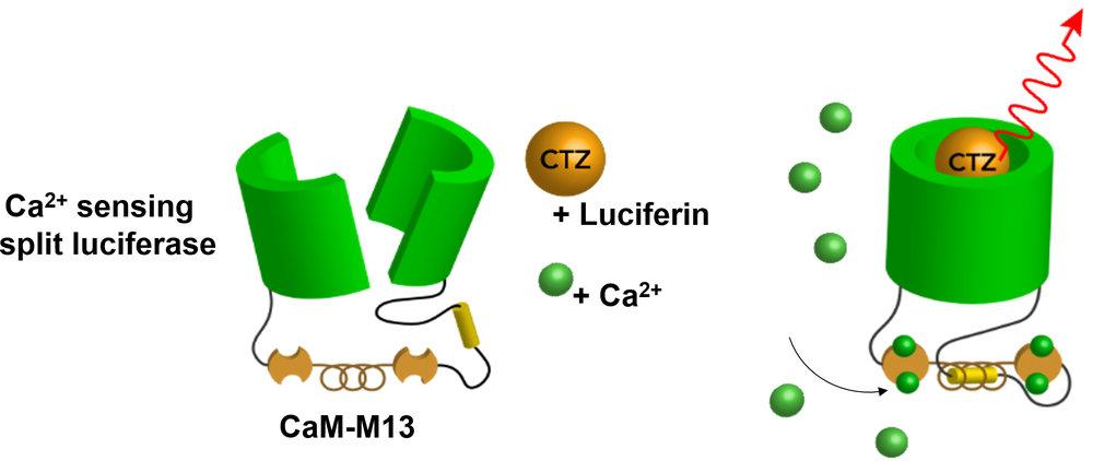 Calcium Biolum Sensor