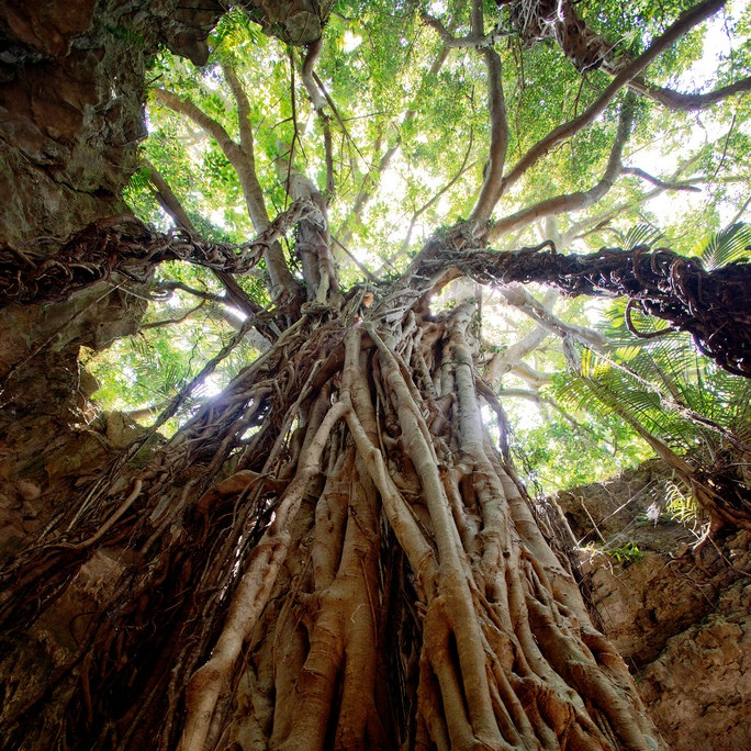 gangara banyan tree
