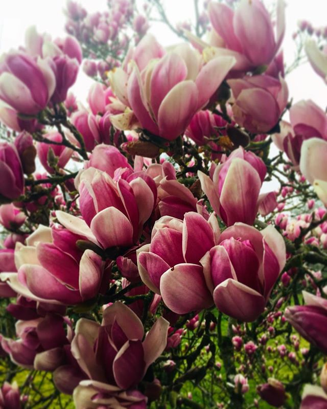 • 14h38, amour de magnolia.  #ammifleurs