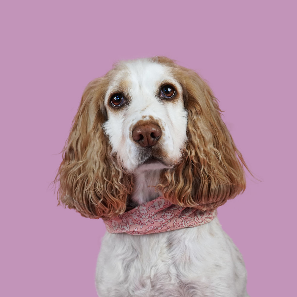 Pet Portrait Only - From £90.00 (an extra £10 per dog, maximum of three dogs)