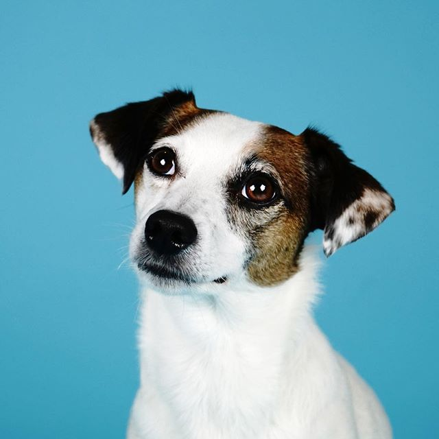 � Pepper the Jack Russell � She's normally a little shy but loved having her photo taken ��♀�📷 | #dogphotography #studiowoof #jackrussell #dogsofharrogate #harrogate #dog #dogportraits #dogsofyorkshire #yorkshire #love #ilovedogs #terrier #northyorkshire #ilovemypet