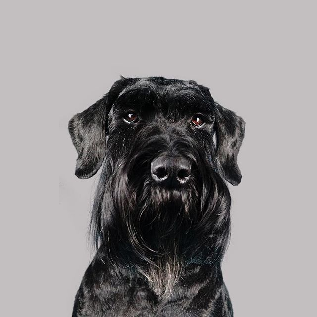 Happy #NationalPetDay featuring our very own #OllieTheGiant �🥰 He has his very own Instagram (naturally) follow him: @schnauzer_lover � | #dogphotography #studiowoof #giantschnauzer #schnauzer #photography #harrogate #dogsofharrogate #yorkshire #ilovemypet #dogs #dog #schnauzersofinstagram