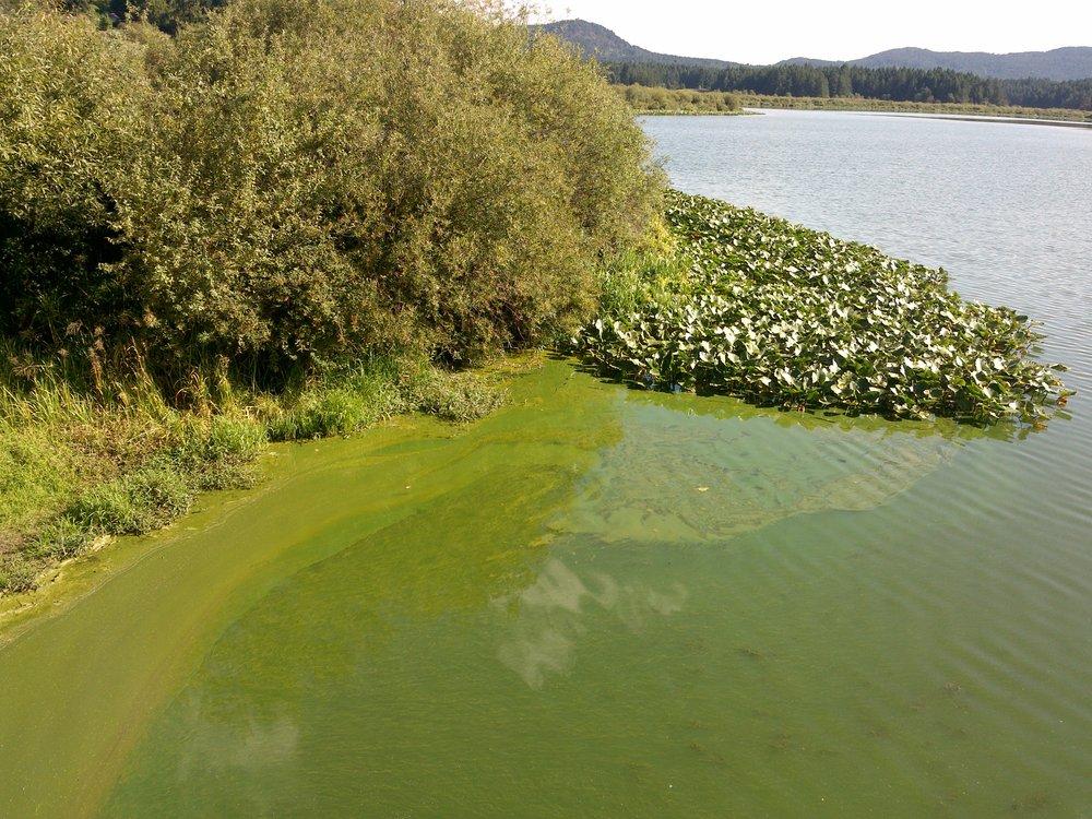 Blue-green algae bloom in Somenos Lake 2016 - Photo by Elizabeth Aitken