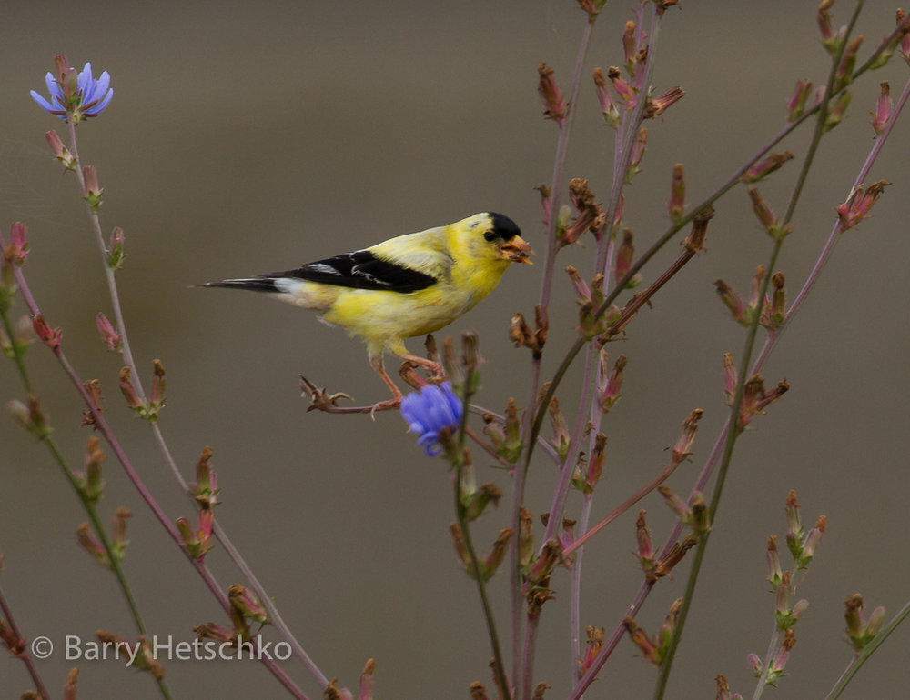 American Goldfinch - Barry Hetschko