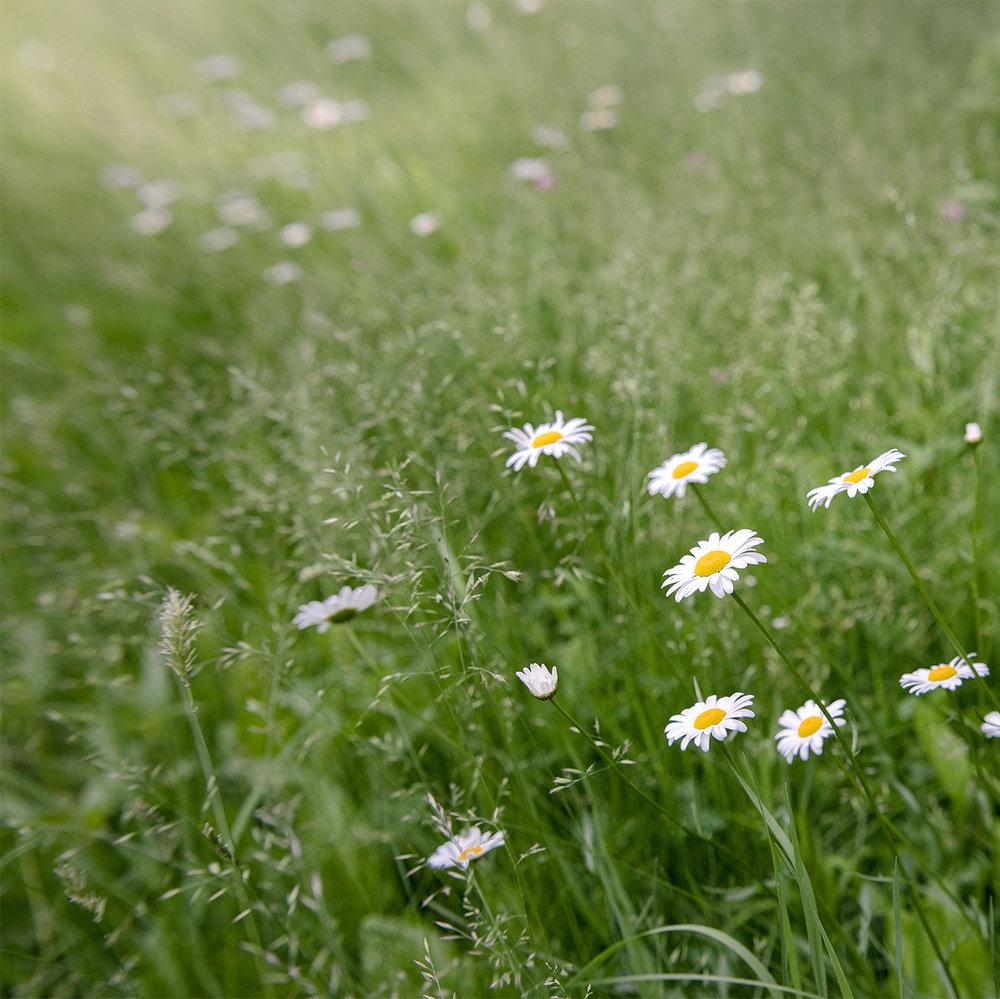 daisies-field.jpg