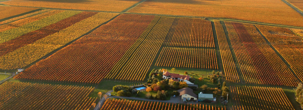 Autumn_Vineyard_Tim_Whittaker.jpg
