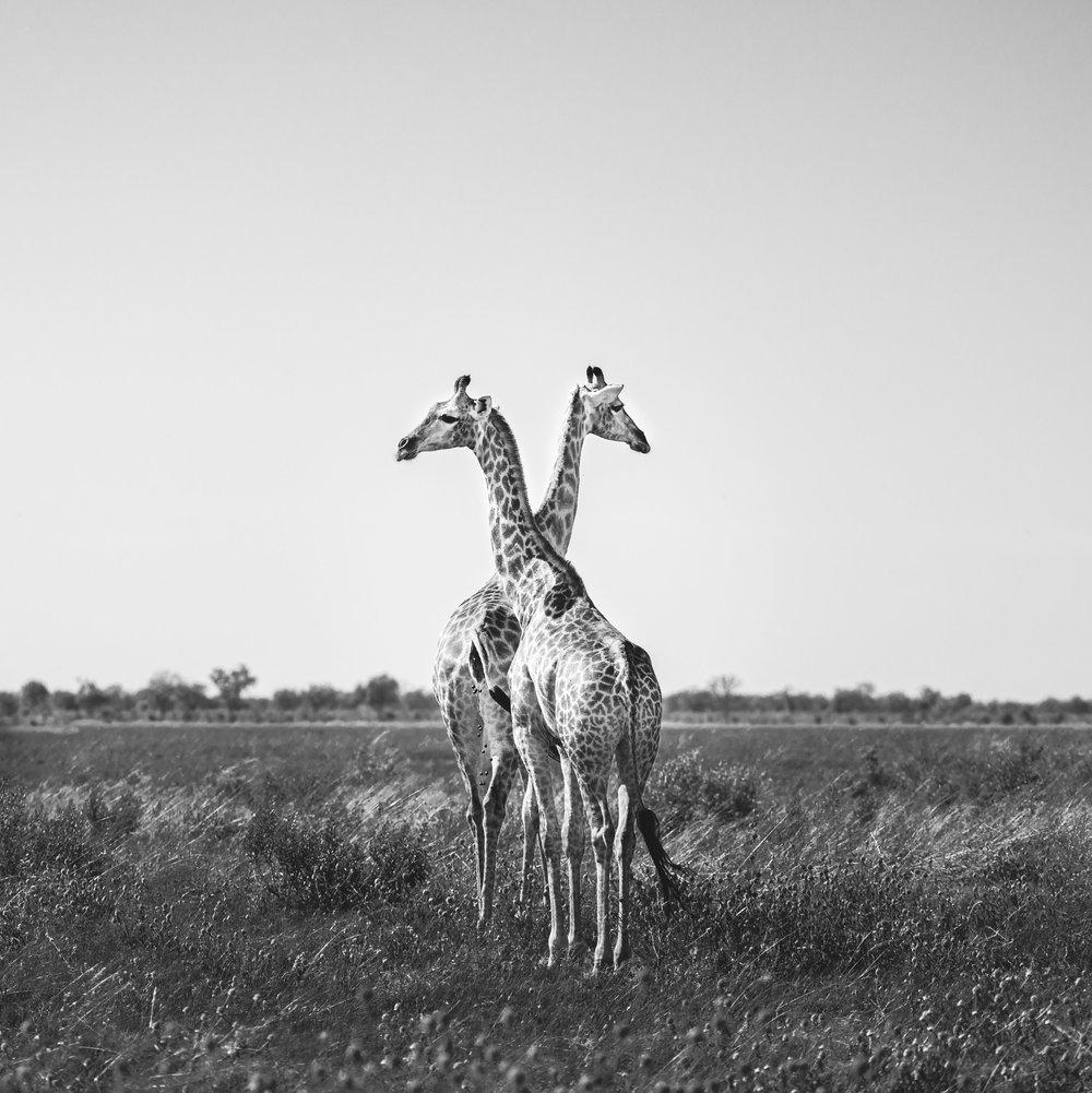 Giraffe-1-2.jpg