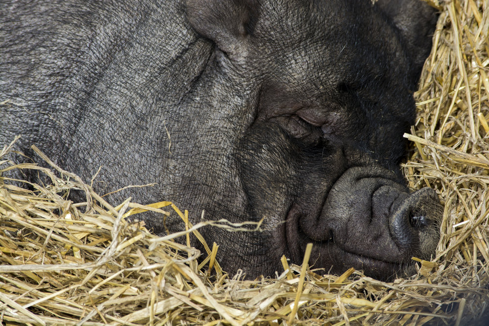 A pig sleeping in straw.