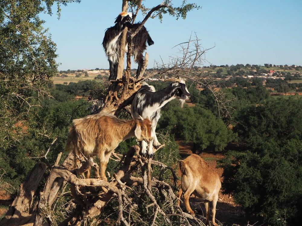 goats casually climbing an argan tree