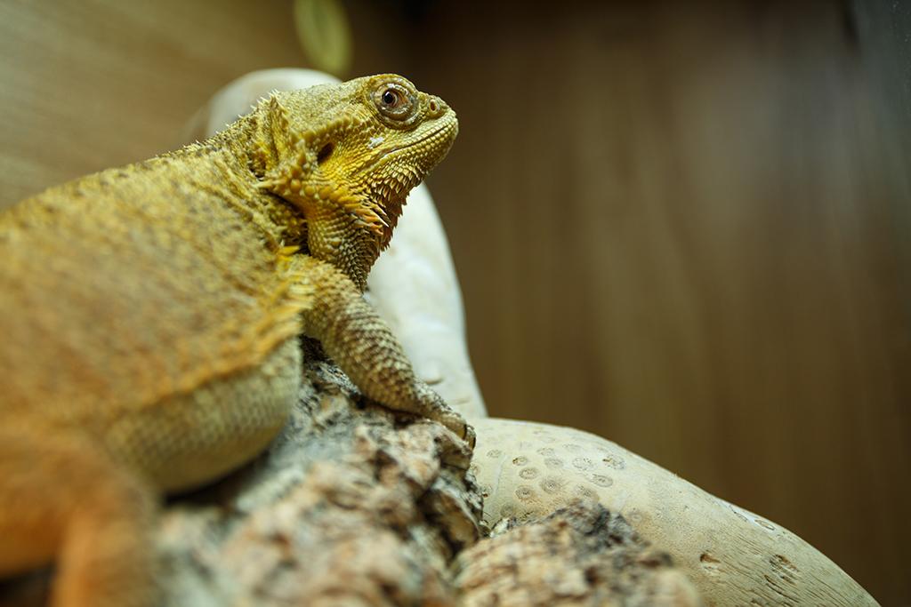 Bearded Dragon (16/365)