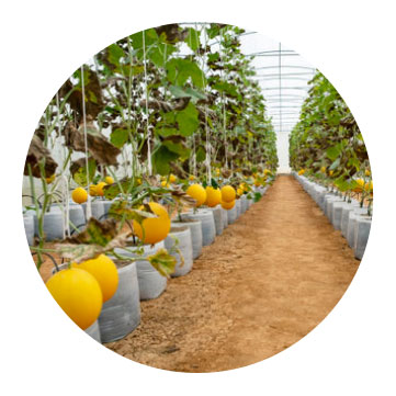 orange trees growing in controlled grow room climate