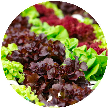 multiple types of leafy greens in double cropping environment