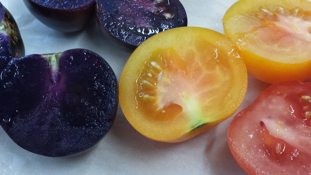 Cathie Martin's GM tomatoes. Photo: Kat Arney, all rights reserved