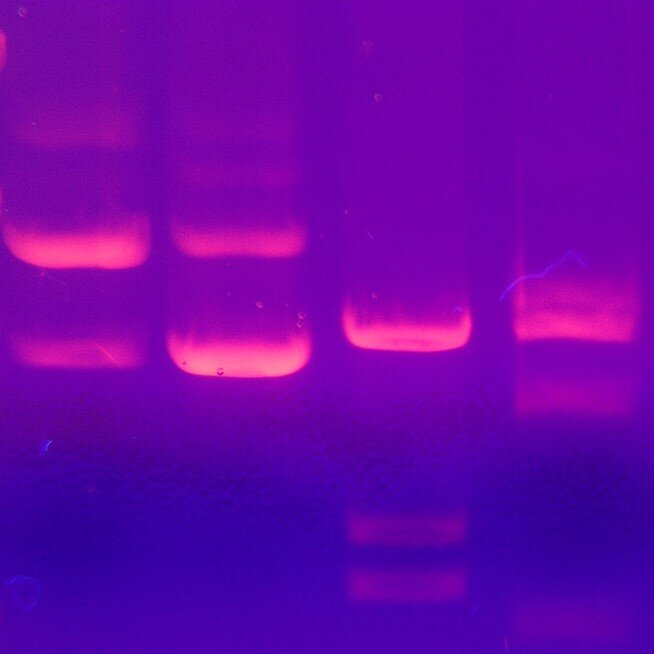 S3.07 An accidental invention: the story of genetic fingerprinting
