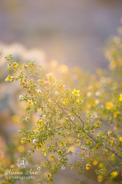Sunlit Creosote | Photograph Story | Alaina Ann Photography