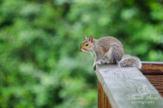 Deck Squirrel | Photograph Story | Alaina Ann Photography