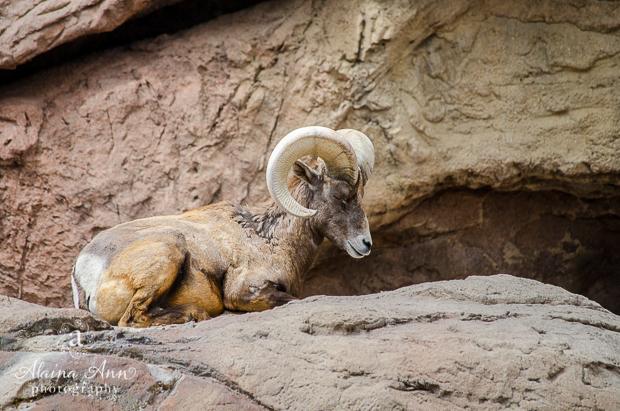 Resting Bighorn