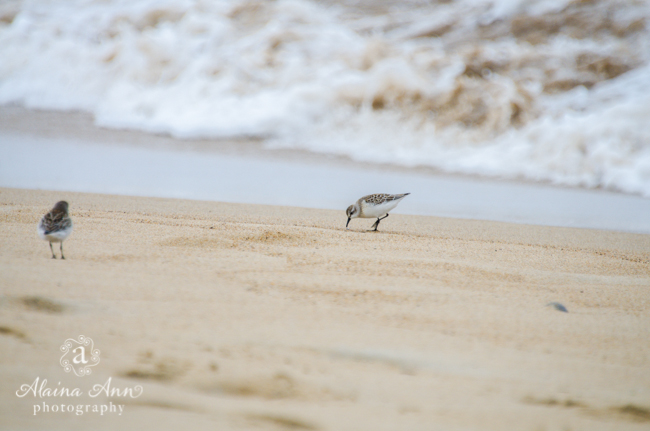 Piping Plovers on Plum Island