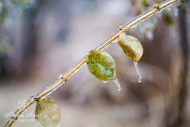 Frozen Leaves | Photograph Story | Alaina Ann Photography