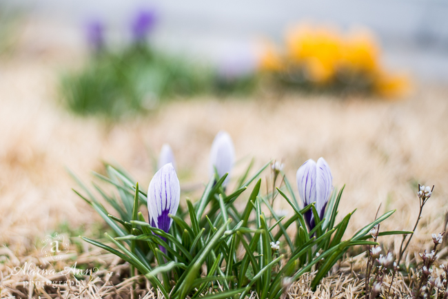 Purple Spring Flowers   Friday Favorite   Alaina Ann Photography