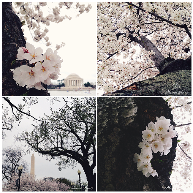 Cherry Blossoms | iPhone Favorites | Alaina Ann Photography