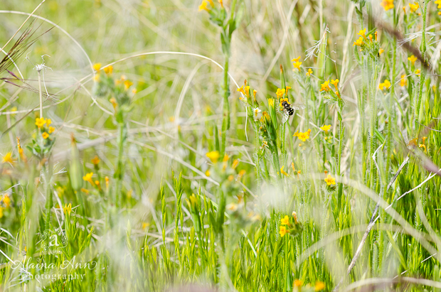 Fiddleneck Bee | Photograph Story | Alaina Ann Photography