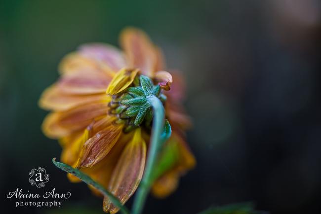 Behind a Mum | Friday Favorite | Alaina Ann Photography