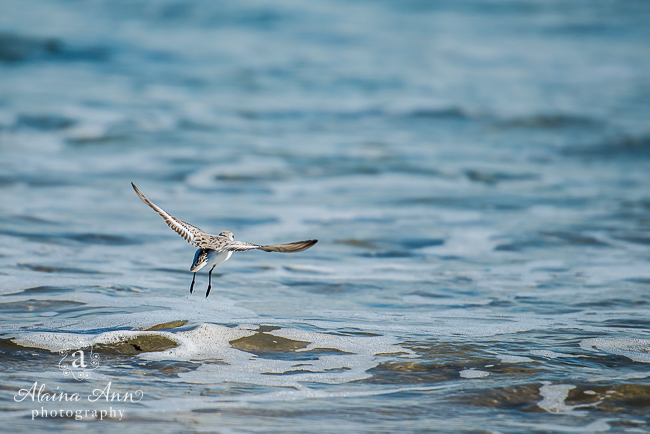 Piping Plover Taking Flight | Friday Favorite | Alaina Ann Photography