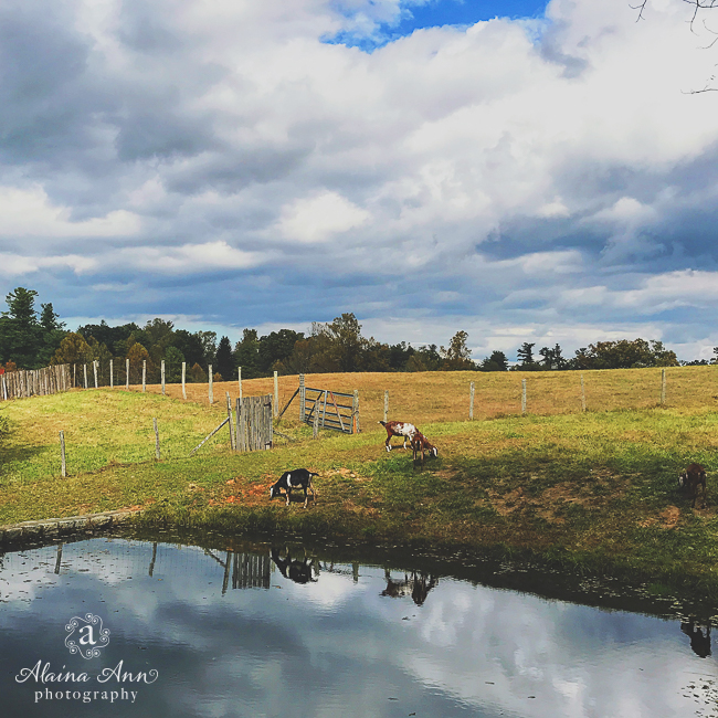 Afternoon with Goats | Friday Favorite | Alaina Ann Photography