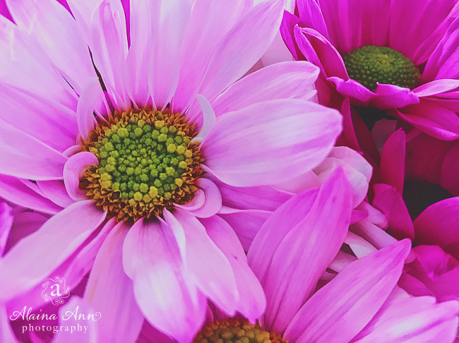 Pink Daisies   Friday Favorite   Alaina Ann Photography